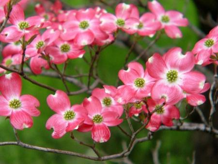 Pink Dogwood*