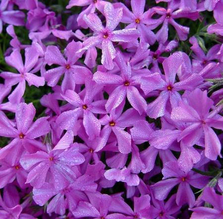 Purple Passion*