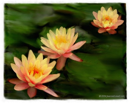 Water Lilies Three