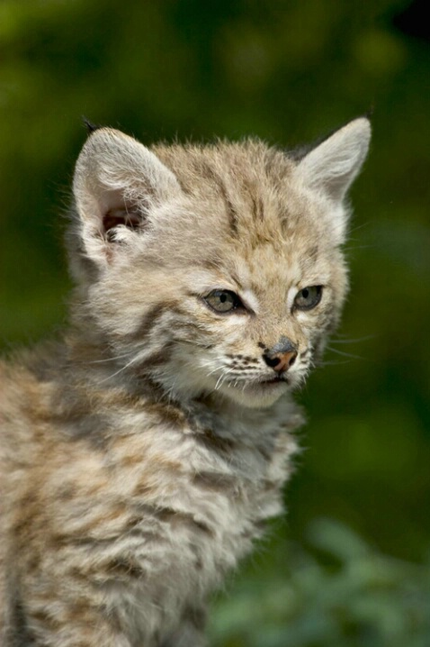 Bobcat Kitten Straight On