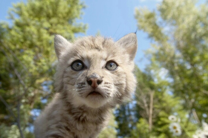 Bobcat Kitty From Below