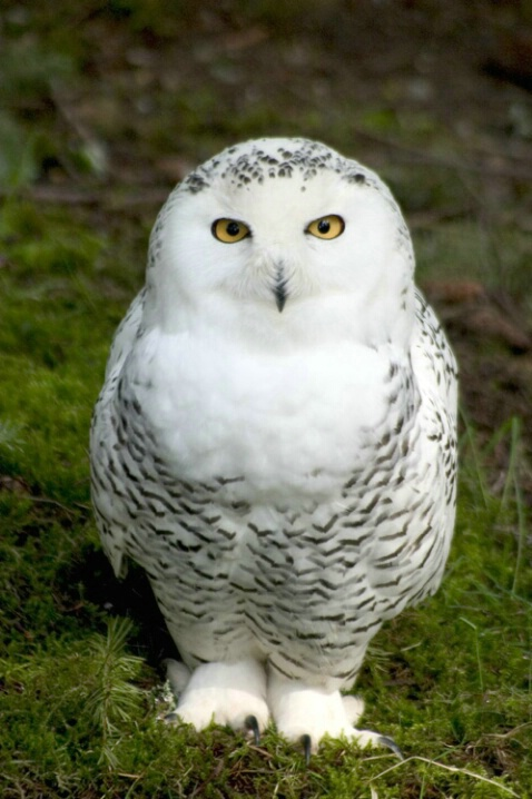 ROT Exception Snowy Owl
