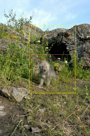 Wolf Pup Needs Cropping With Guides