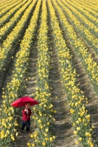 Skagit Valley Tulip Festival