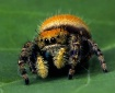 Jumping Spider Cl...