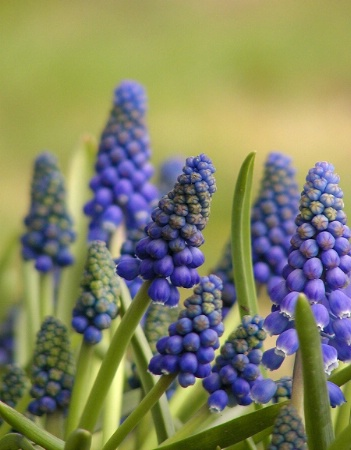 Tiny Grape Hyacinths