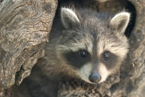 Rocky the Raccoon Says 'Have Fun Taking Pictures!'