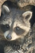 Rocky the Raccoon From Above