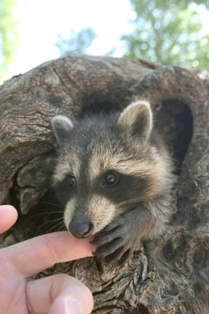 Baby Raccoon Nibbling on Finger