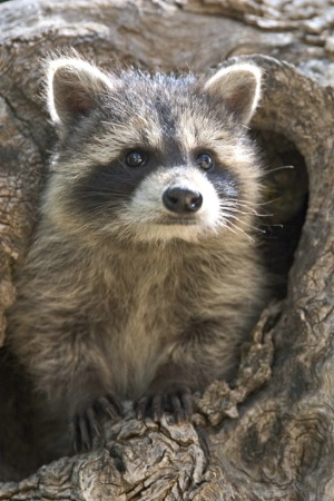 Baby Raccoon in Hole - Vertical