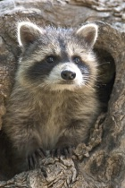 Rocky the Raccoon From Below