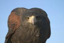 Perching Harris Hawk - Dead Stare