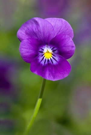 Perky Viola
