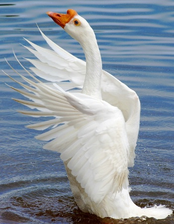 Graceful Goose