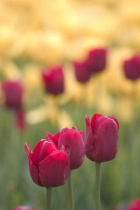 Photograph Tulip Festival