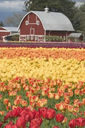 Classic Tulip Festival Scene