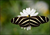 zebra longwing
