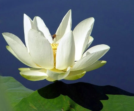 Lagoon Lily*