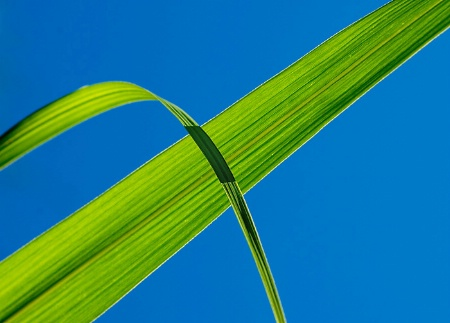 Cane Leaves