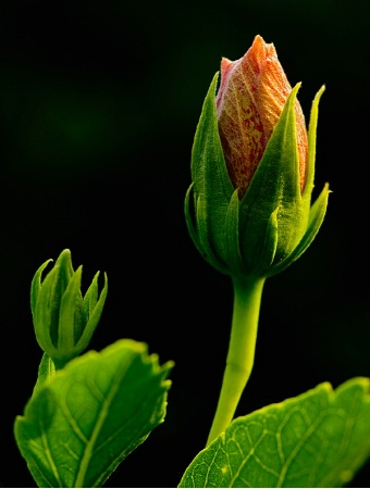 Hibiscus Flower Bud