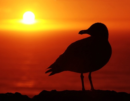Seagull and Setting Sun