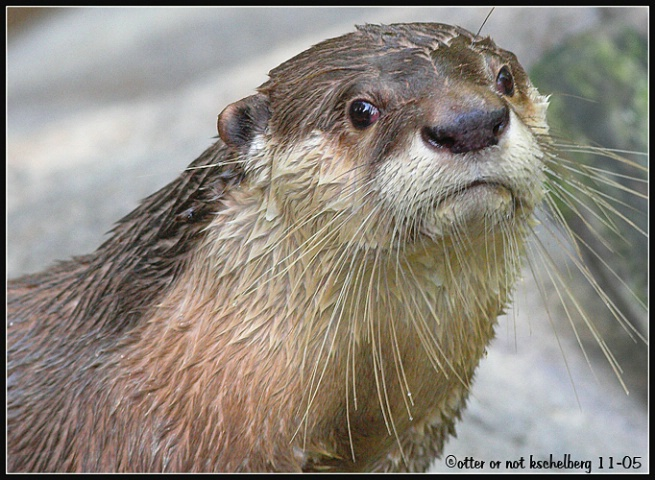 Otter or Not