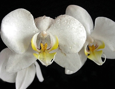 frosted orchid