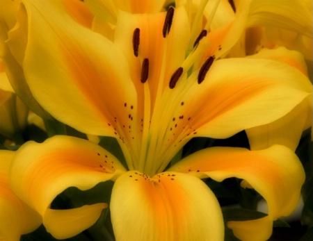 Lily Unfolding