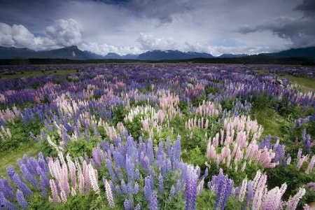 Where's Waldo? In Lupine Heaven