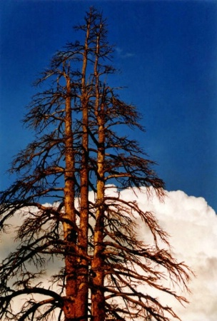 TUOLUMNE TREE, SKY AND CLOUD - AFTER