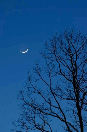 New moon and old Black Locust trees