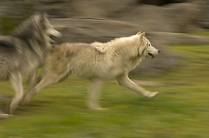 Wolves in Motion