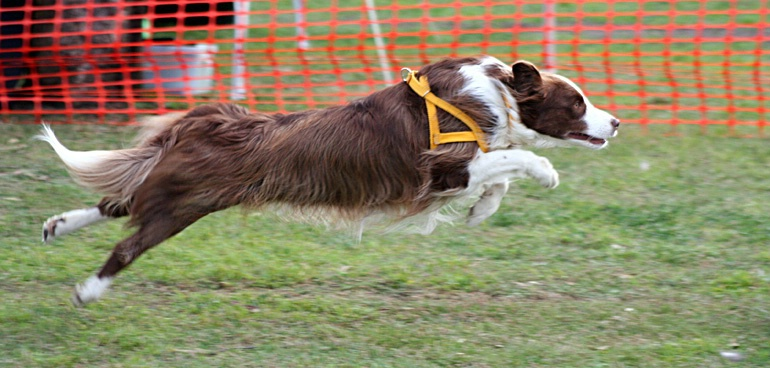 Flyball Competitor