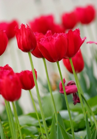 Long stemmed tulips in a row