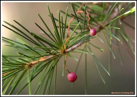 Pine Dream