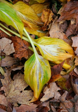 Faded Hosta Leaves