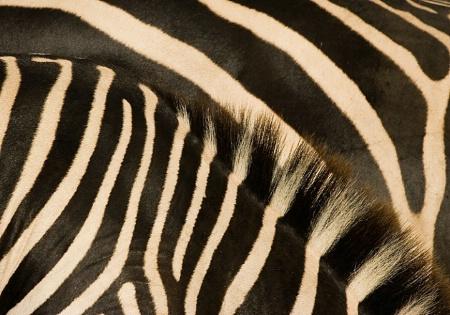 Zebras (pattern)