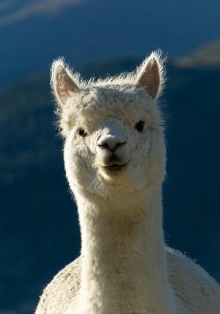 Llama Look