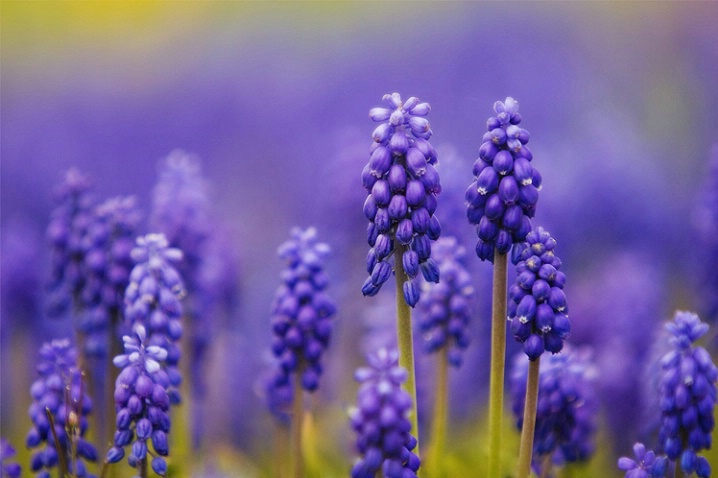 Grape Hyacinths Patch