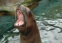Talkative sealion