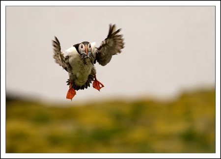 Puffin with food.