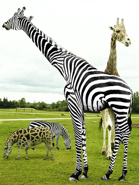 zebras and giraffes - photo #30