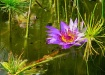 Water Lily in Nat...