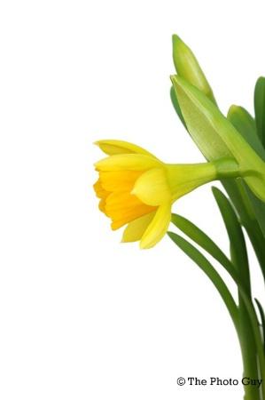 Daffodil Profile