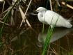 Snowy Egret and R...