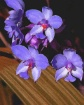 Painted Orchids i...