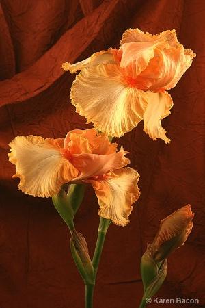 the lady iris