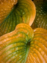 Hosta leaves - texture - filled frame
