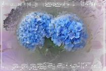 Hydrangea Melody