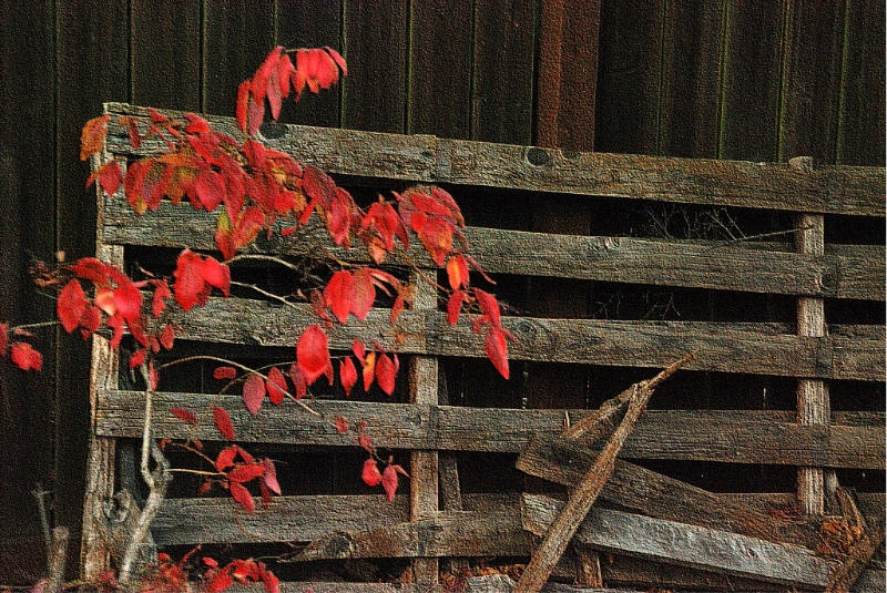 Red Leaves & Fence